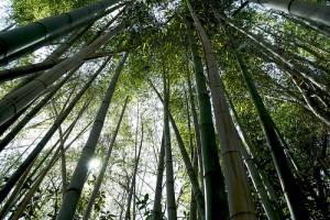 bamboo trees CC